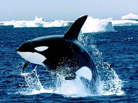 Orca-Whale-1024x768